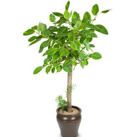 뱅갈고무나무 m2011