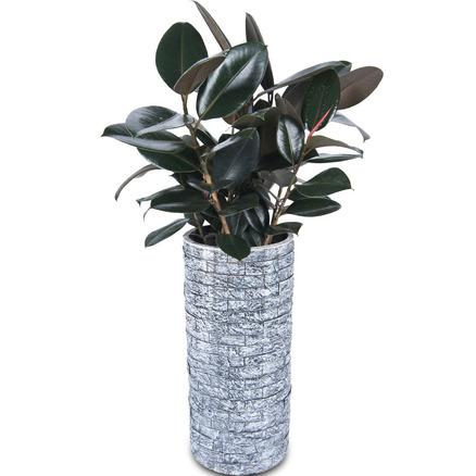 고무나무 m907