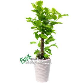 뱅갈고무나무 m1734