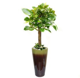 뱅갈고무나무 m3388