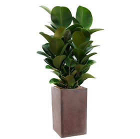 고무나무 m720
