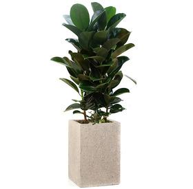 고무나무 m7230