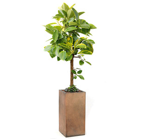 뱅갈고무나무 m0007