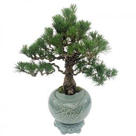 도자기소나무분재m609