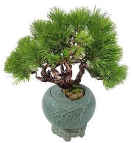 도자기소나무분재m607