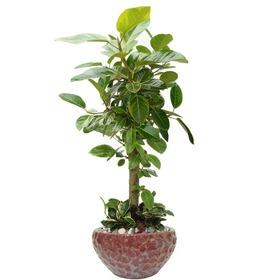 뱅갈고무나무 m1642