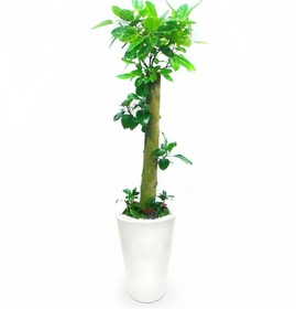 뱅갈고무나무 m2012